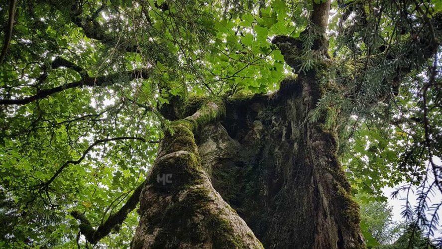 Der-Baum--CherliasCom